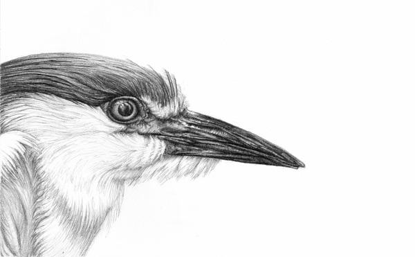 طراحی سیاه قلم پرنده